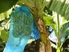 bananeraie-3